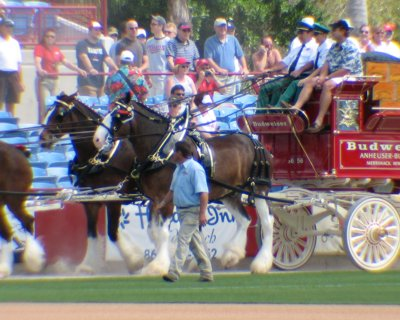 Clydesdales: looking good with all that beer
